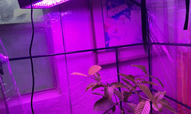 Kratom Growing Part 1: Setting Up A GreenHouse With Proper Humidity And Light Levels In Order To Simulate A Tropical Rainforest