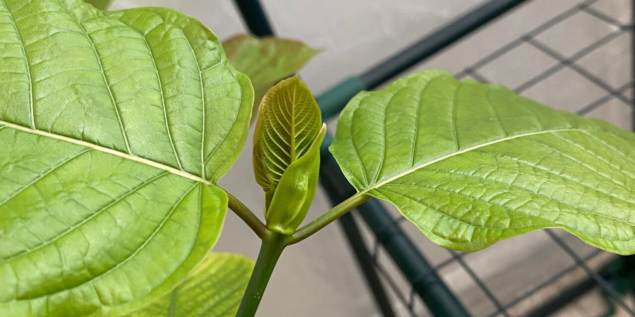 Kratom Growing Part 2: New Leaves Begin Proliferating As The Greenhouse Ecosystem Achieves Balance