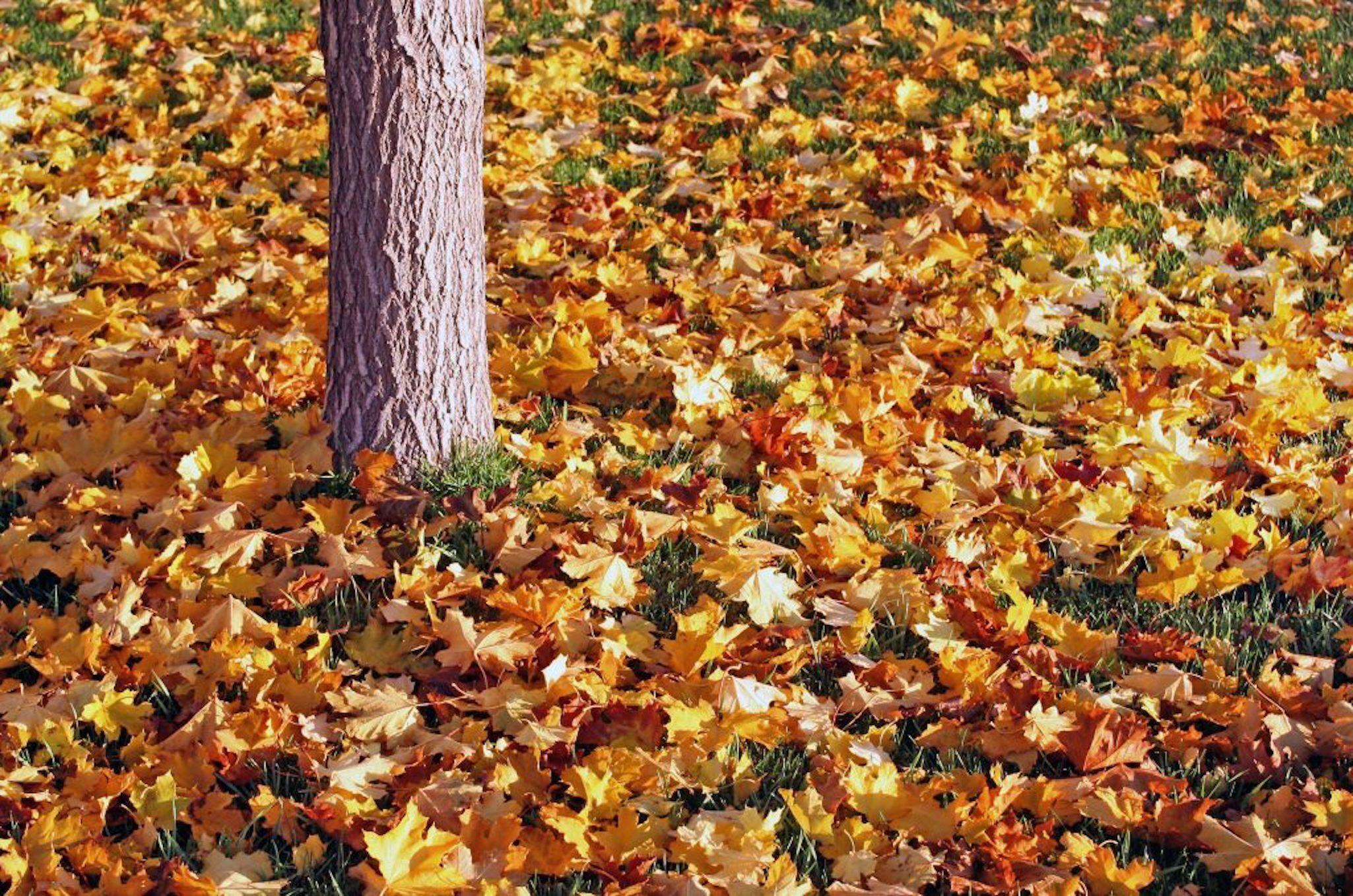 Pretty Fall Leaves On A Lawn