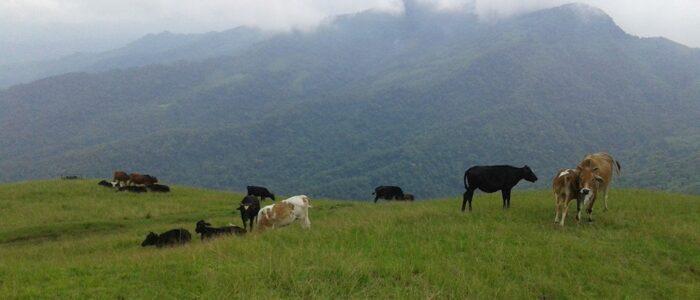 Cow Rearing at Sialsuk