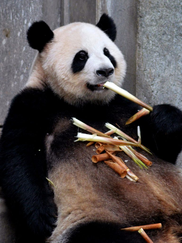 A panda, what marketers turn to when they have nothing else to flaunt