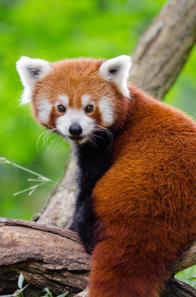 Red Panda image for Bendle Panda Index