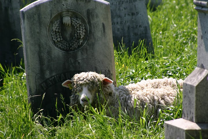 Sheep in the Cemetary 5-30-07 016