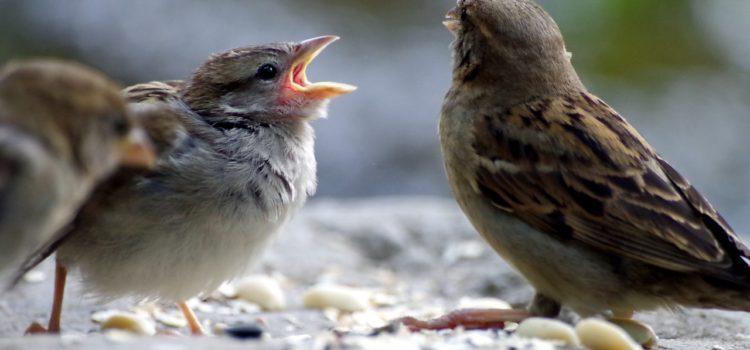 Sparrow feeding baby
