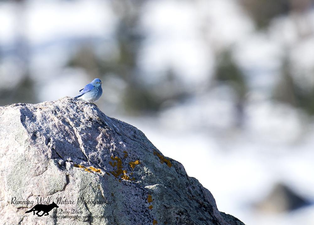 Mountain Bluebird - Happy Spring