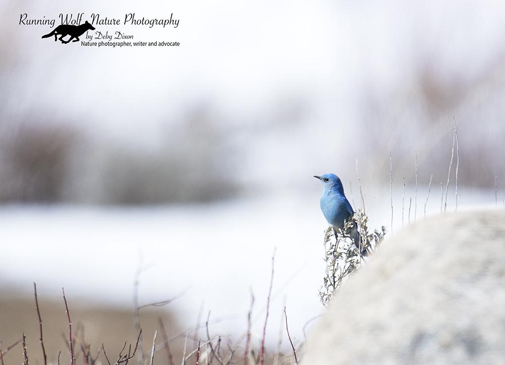 bluebird2016002