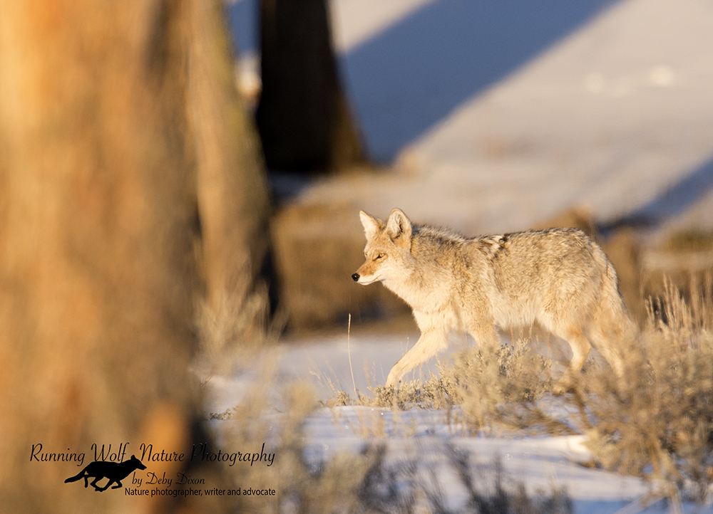 My favorite coyote