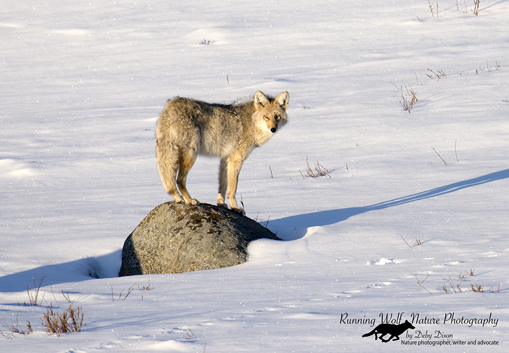 coyotefi009