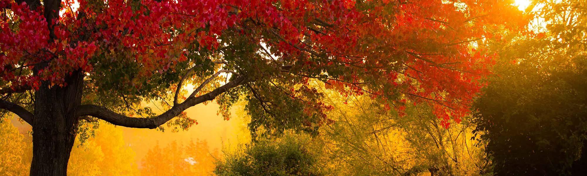 Sunrise Through the Maples