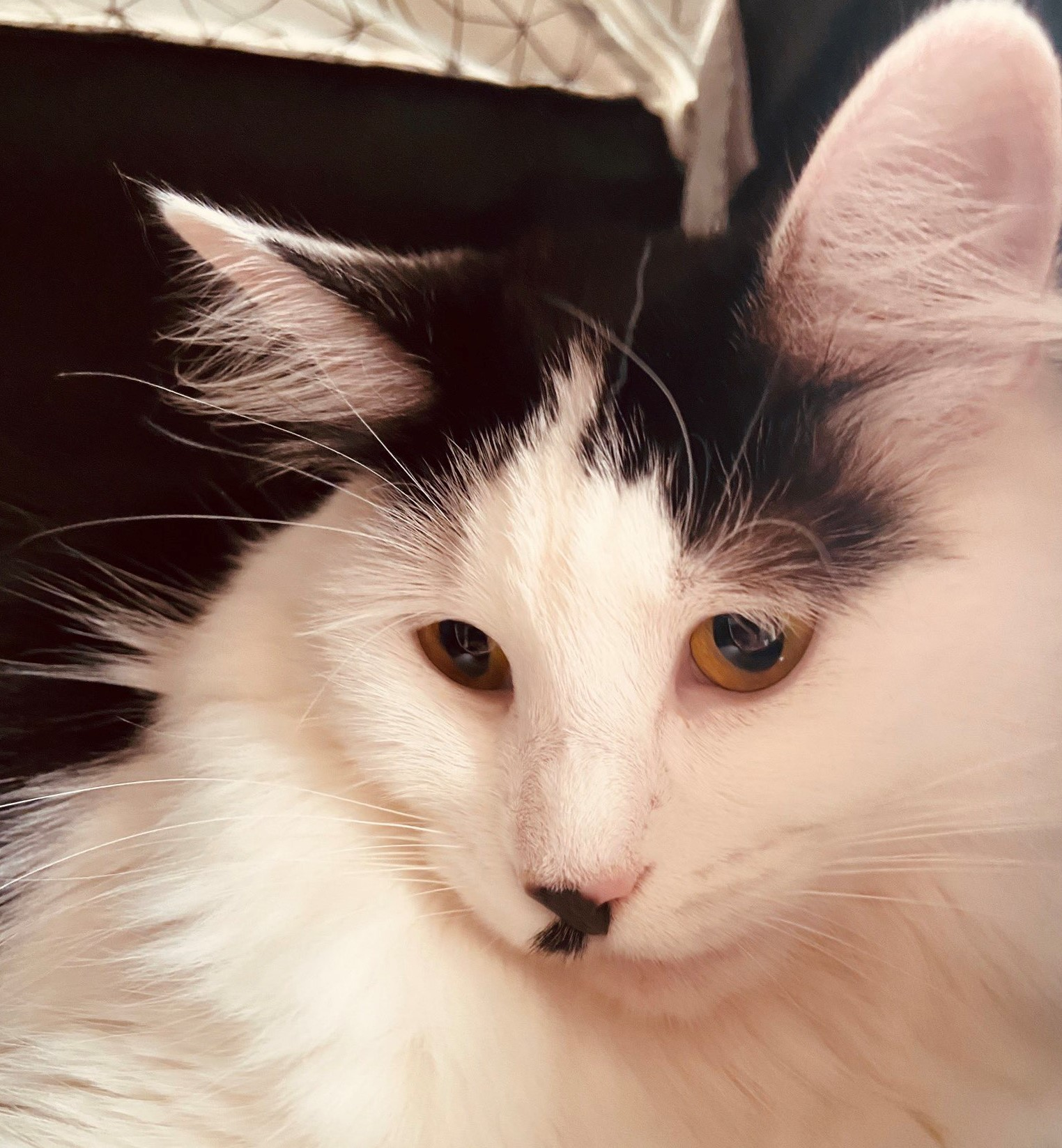 gorgeous black-and-white long-haired kitty cat!