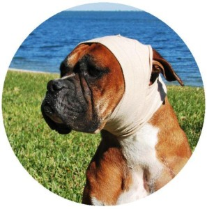 Boxer-HealthConsiderations