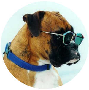 A Cool Boxer Dog Is Essential