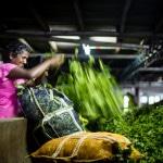 Tea workers   Sri Lanka   Foraggio Photographic