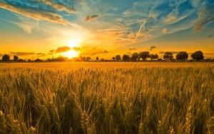wheatfieldatsunset