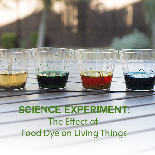 Science Experiment: The effect of food dye on living things
