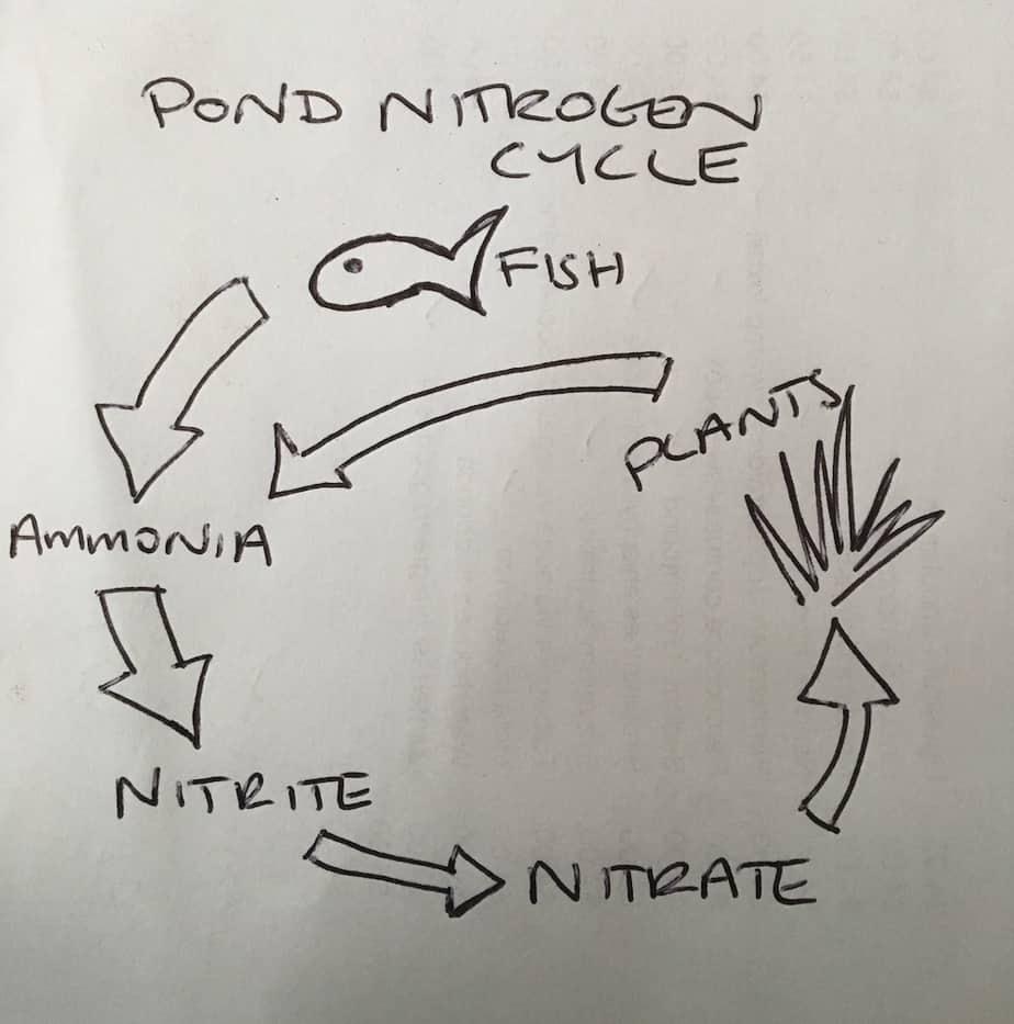 Pond nitrogen cycle