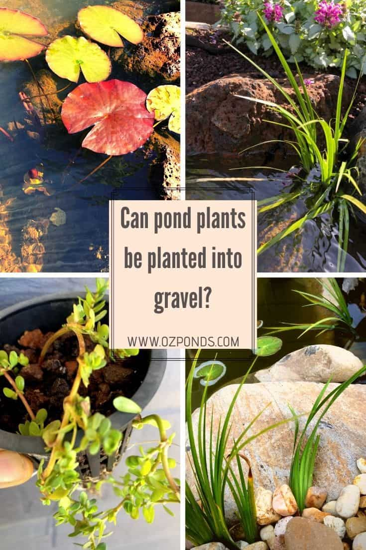 Can pond plants be planted into gravel?