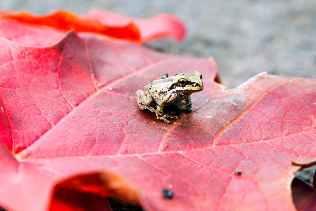 Tiny toad sitting on a red maple leaf