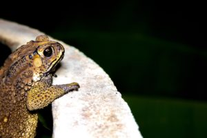 Javanese Toad standing on cement floor at night