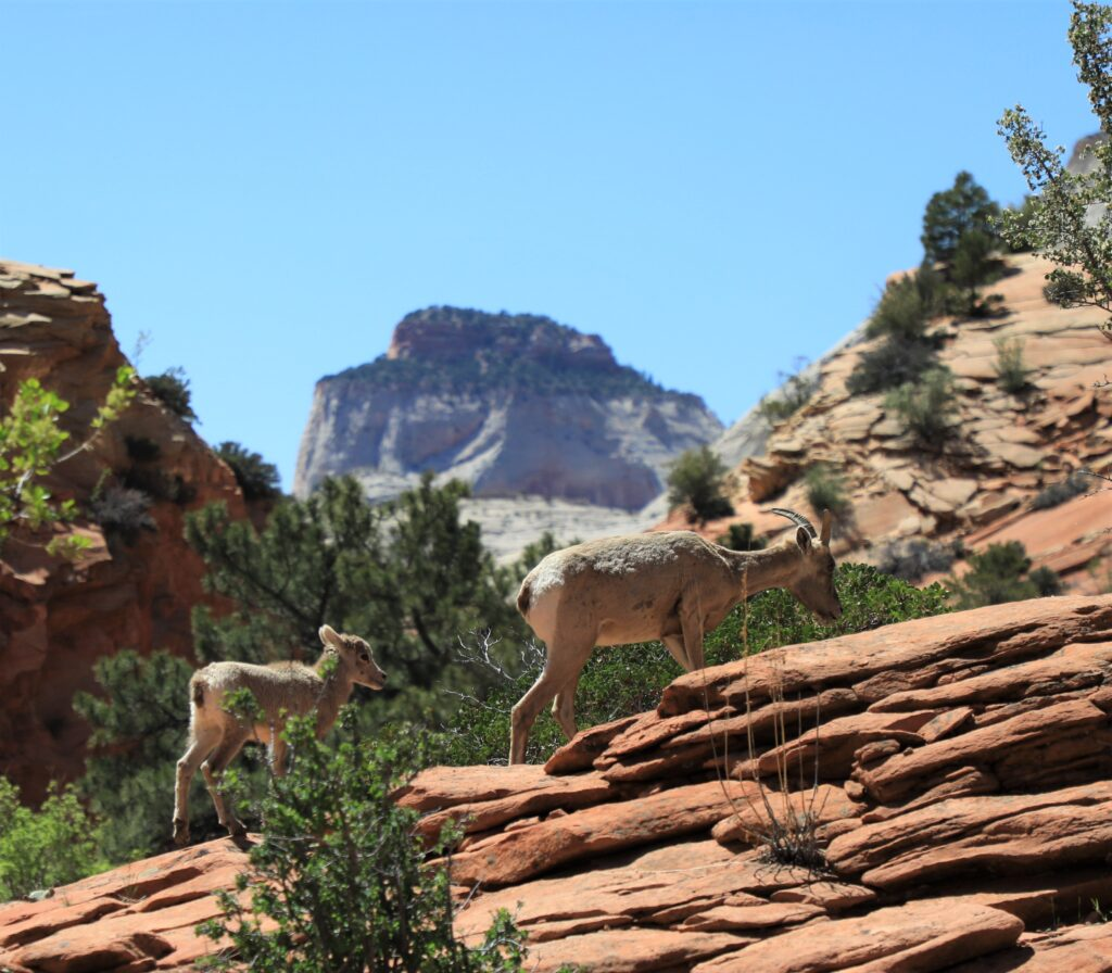 Baby bighorn sheep in Zion National Park