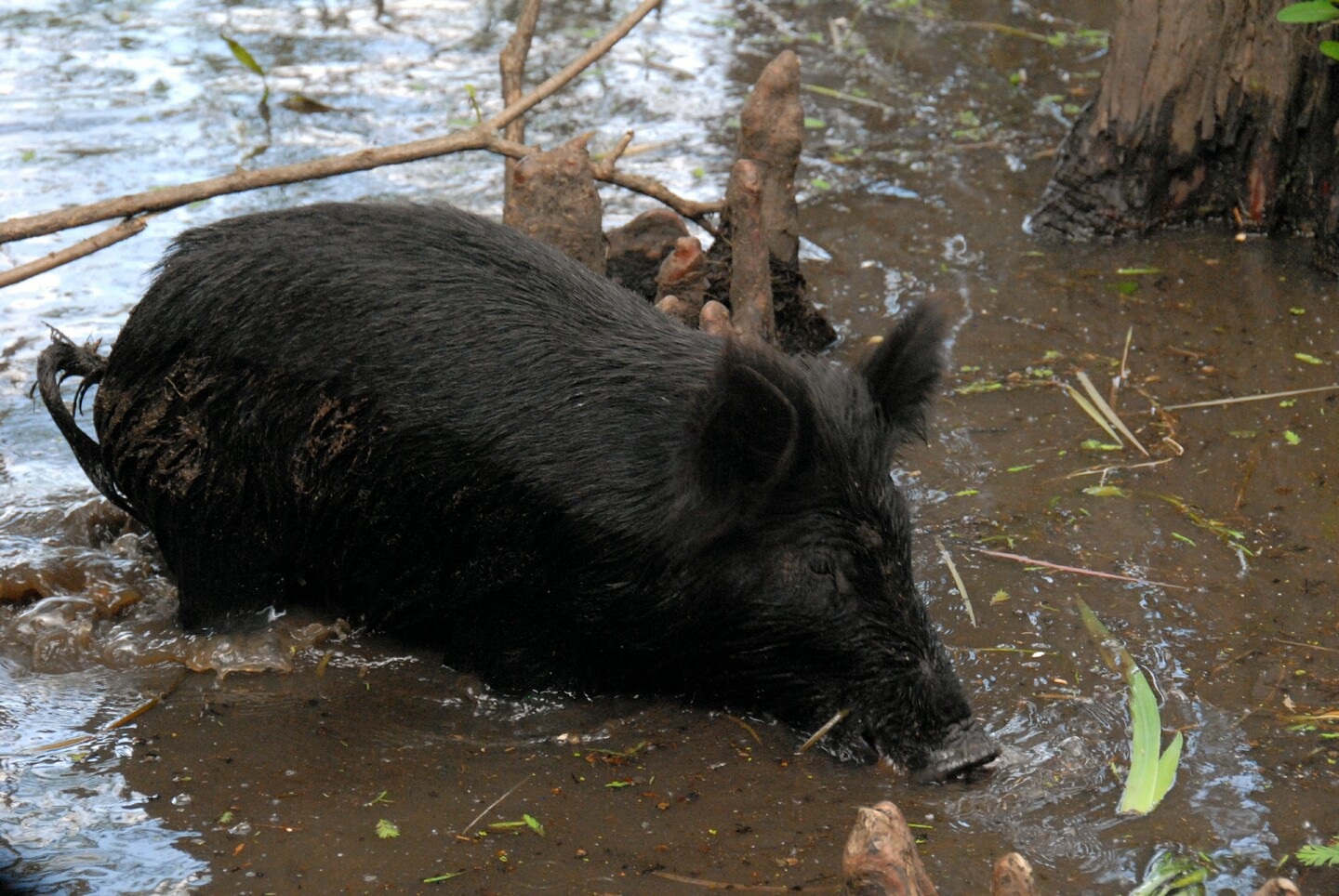 Wild Pigs in the Swamp
