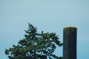 Our resident Bald Eagle