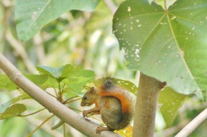 Red Tailed Squirel