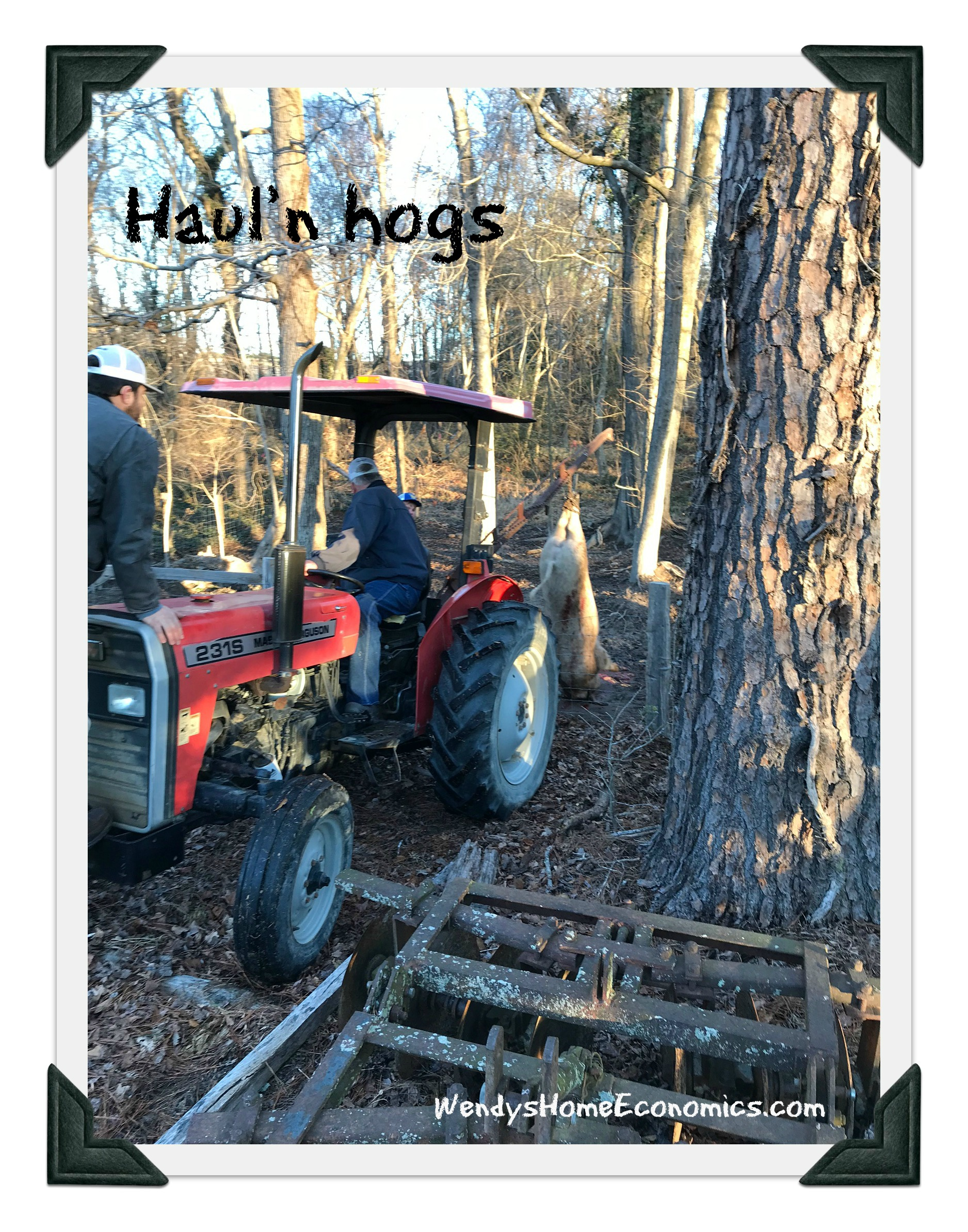 hauling the hogs to the vat