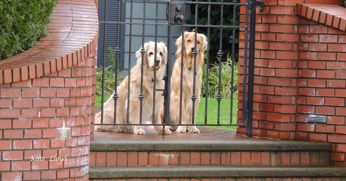 These Golden Retrievers look like they're ready for a walk too.