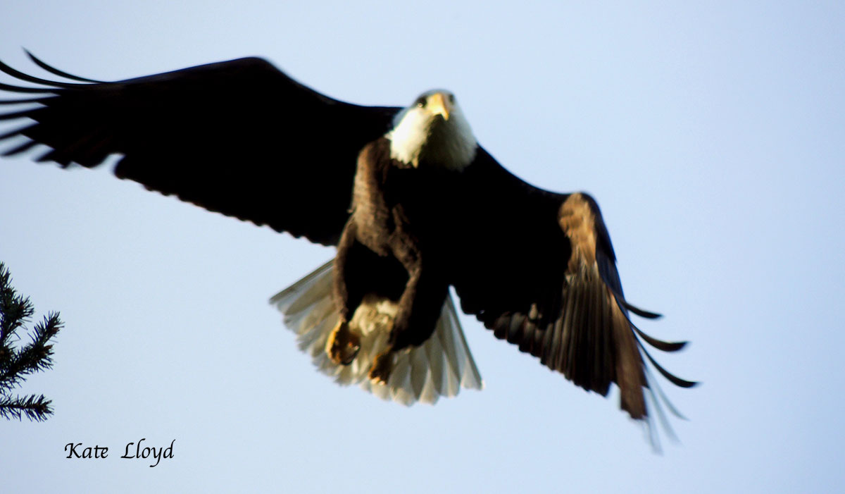 Our city eagle population is exploding!