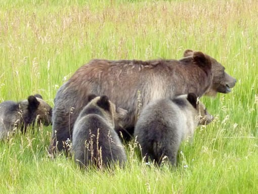 Grizzly and Cubs Spotted in South Park