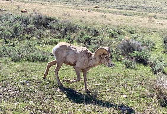 Bighorn Hunt Over