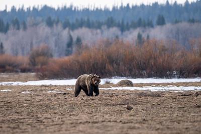 Grizzly Injures Man Near Dubois
