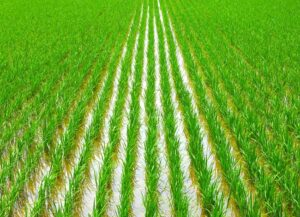 AGC offers rice, soy, coffee, lettuce, and other agricultural commodities and farm products worldwide