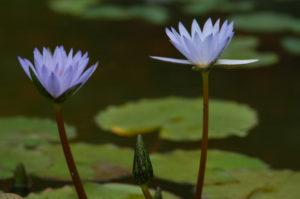 Flower on lilipad