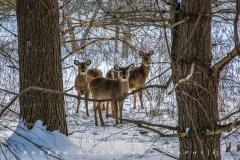 Deer Staring Contest