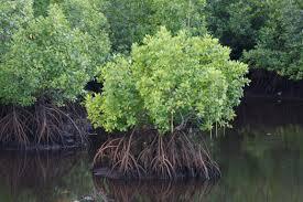 Fishermen grow mangroves in Sri Lanka