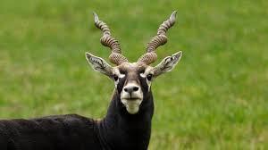 No escape for black bucks murder