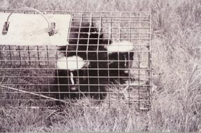 Two juvenile skunks in a cage trap. Photo by Stephen M. Vantassel