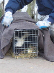 Cage-trapped skunk. Photo by Stephen M. Vantassel.
