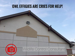 Owl effigies are cries for help.