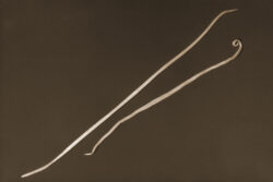 Female (larger) and male Ascaris worms, similar to the worm Baylisascaris procyonis. Photo: Centers for Disease Control