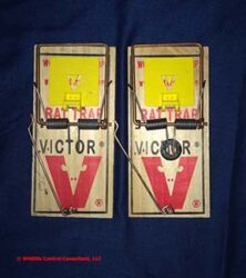 Victor Rat Snap Traps with expanded trigger. The right trap has been modified to make the striker bar hit harder.