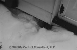 Photo showing the presence of a skunk entrance under a house.