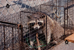 Cage-trapped Raccoon. Photo by Stephen M. Vantassel.