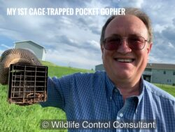 Stephen M. Vantassel's first cage-trapped northern pocket gophers.