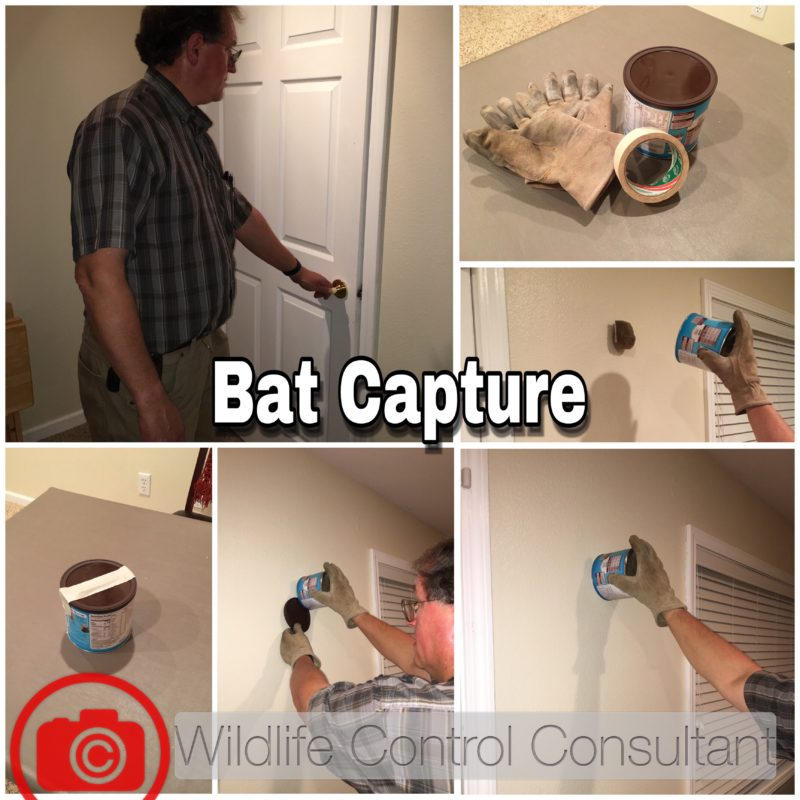 Steps in the process in capturing a lone bat in the house. Read clockwise starting in upper-left corner. Final step is contact health department.