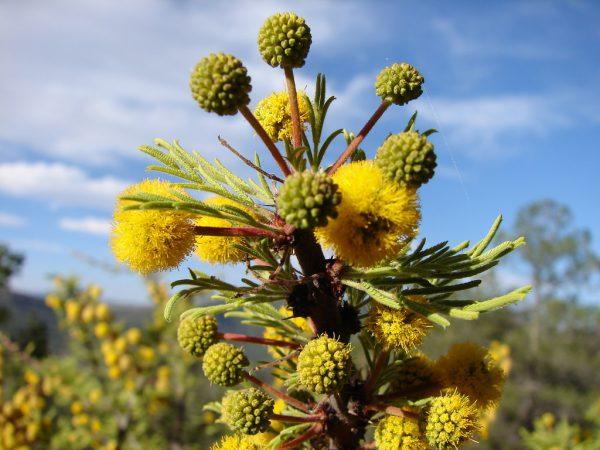 Los Huizaches de Guanajuato, floración amarilla preludio de la primavera