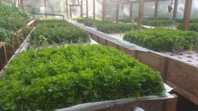 lettuce growing facilities