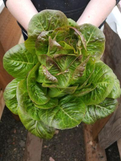 lettuce patch